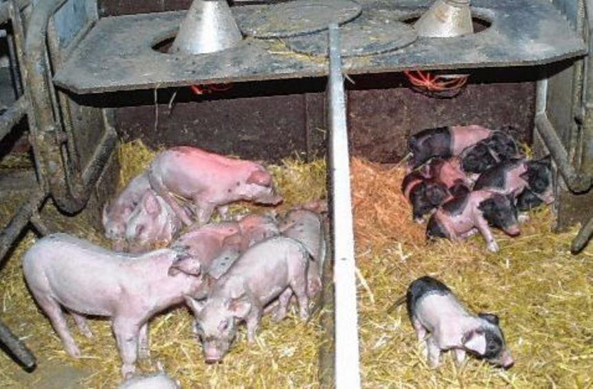 Zahl Der Schweinehalter Stark R 252 Ckl 228 Ufig Fr 228 Nkische
