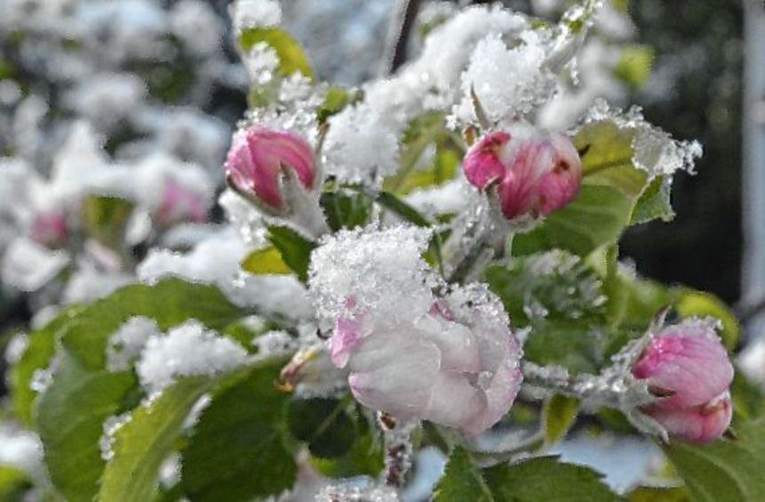 Der Schnee hätte den Apfelblüten nicht geschadet, der stundenlange Frost in der Nacht auf ...