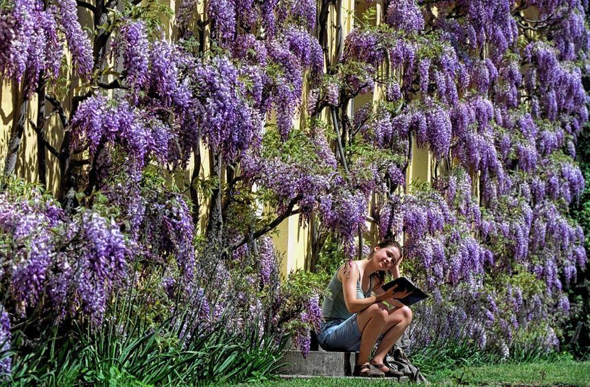 Der Blauregen beeindruckt mit langen Blütentrauben, gefiederten Blättern und seiner beachtlichen ...