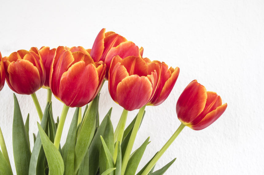 red orange tulips in white isolated background